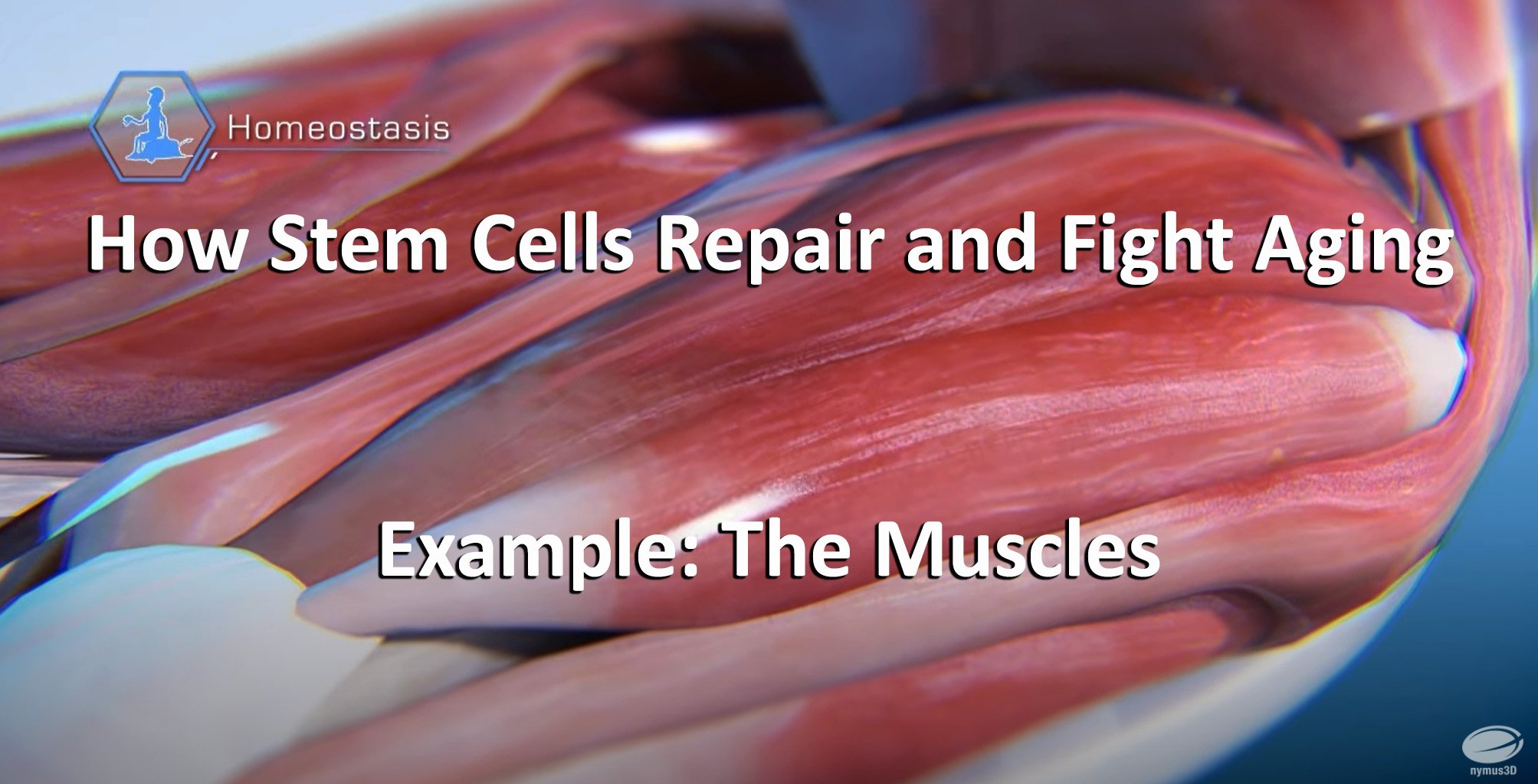 front How Stem Cells Repair and Fight Aging - The muscles